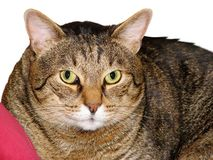 Portait del gatto grasso immagine stock libera da diritti