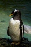 Portait del pinguino adulto Immagini Stock Libere da Diritti