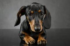 Portait del ` s del perro basset en el estudio gris oscuro fotografía de archivo
