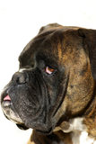 Portait of a dog boxer Royalty Free Stock Photos