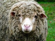 Portait dos carneiros Imagem de Stock Royalty Free