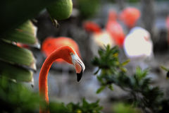 Portait of a Flamingo. Stock Photos