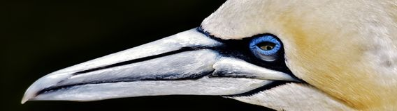 Portait of a Gannet. Close up of a beautiful Gannet Seabird Royalty Free Stock Photography