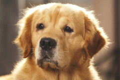 Portait of a golden retriever Royalty Free Stock Photos