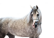 Portait of grey beautiful arabian stallion at white background. Portait of grey  beautiful arabian stallion at white background. insight Royalty Free Stock Images