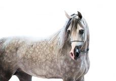 Portait of grey beautiful arabian stallion at white background Royalty Free Stock Images