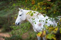 Portait gris del caballo en la naturaleza del bosque del otoño, mirando Fotos de archivo