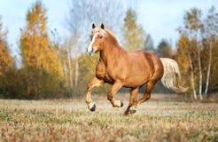 Portait gris del caballo en la naturaleza del bosque del otoño, mirando Imágenes de archivo libres de regalías