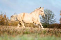 Portait gris del caballo en la naturaleza del bosque del otoño, mirando Fotografía de archivo libre de regalías