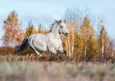 Portait gris del caballo en la naturaleza del bosque del otoño, mirando Imagen de archivo libre de regalías