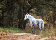 Portait gris del caballo en la naturaleza del bosque del otoño, mirando Fotos de archivo libres de regalías