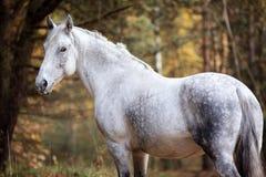 Portait gris del caballo en la naturaleza del bosque del otoño, mirando Foto de archivo