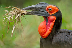 Portait of Ground Hornbill Stock Images