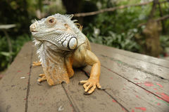 Portait of an iguana. Portrait of an iguana on a wooden surface outdoors royalty free stock photo