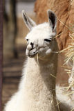 Portait of Llama Stock Photo