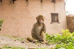 Portait małpa z copyspace Obrazy Stock