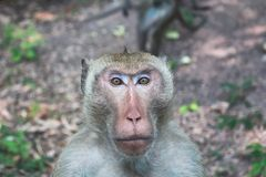 Portait of a monkey looking at camera. In the forest Royalty Free Stock Image