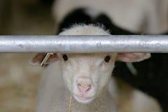 Portait newborn овечки около Sisteron во Франции стоковое изображение