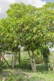 Portait Of A Noni Trees royalty free stock photo