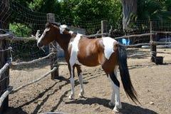 Portait of paint stallion Stock Photo