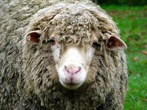 Portait of sheep Royalty Free Stock Image