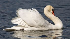 Portait of a side view of a swan in a lake Royalty Free Stock Images