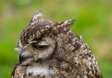 Portait of a Spotted Eagle Owl Royalty Free Stock Images