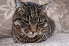 Portait of striped domestic cat laying on sofa. Tired cat relaxed at home. Close up of fat and old domestic tomcat. Portait of striped domestic cat laying on stock image
