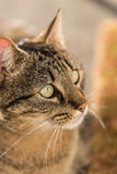 Portait of a tabby cat. Portait of a nice tabby cat Stock Photo