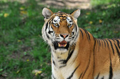 Portait of Tiger Stock Image