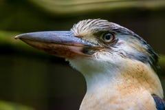 Portait van een Kookaburra stock fotografie