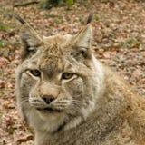 Portait van een lynx Stock Foto