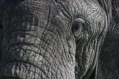 Portait vicino di un occhio dell'elefante fotografia stock