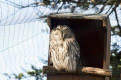 Portait von einem sichernden Ural Owl Perched auf dem Eingang zu seinem versteckt Lizenzfreies Stockbild