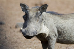 Portait of a warthog Royalty Free Stock Photo