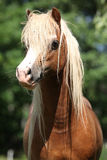 Portait of welsh mountain pony stallion on pasturage Stock Photos