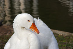 Portait of a white goose whith blue eyes. Resting on the grass near pond shore royalty free stock photos