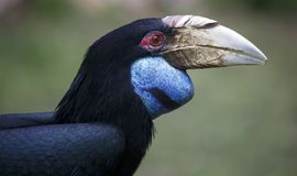 Portait of a wreathed hornbill bird. With huge beak and beautiful blue throat pouch Stock Photography
