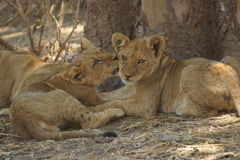 Portaits of lion cubs cuddling. Wonderful picture of a peaceful lion family in the cooling shadow of a big tree Royalty Free Stock Photos