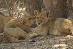 Portaits lwów lisiątka cuddling Zdjęcia Royalty Free