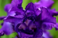Portal av den purpurfärgade irins Arkivbild