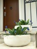 Portal mit Traubenhyazinthenblumen Stockbild