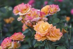 Portand Rose Garden Fotografia Stock Libera da Diritti