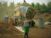 Portando nel raccolto dell'arachide nel Gujarat Fotografie Stock