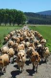Portando nelle mucche Fotografia Stock Libera da Diritti