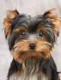 Portarait du chien terrier de Yorkshire Photographie stock libre de droits