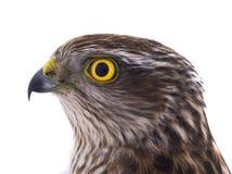 Portarait falcon isolated on a white. Background Stock Photo