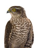 Portarait falcon isolated on a white. Background Royalty Free Stock Photography