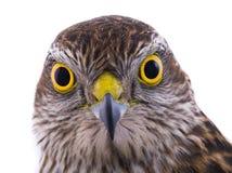 Portarait falcon isolated on a white. Background Royalty Free Stock Image