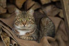 Portarit av den gulliga katten arkivbilder